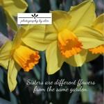 Daffodils Sisters 10×10